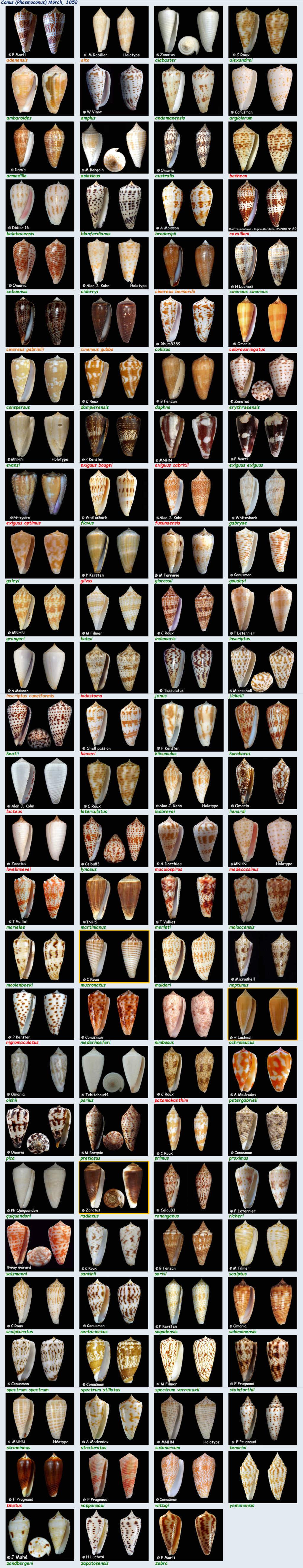 Conidae Conus (Phasmoconus) - Le genre, ses espèces, la planche Conus_85