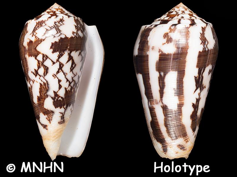 Conus (Pionoconus) striatus juliaallaryae   Cossignani, 2013 - Page 2 Conus_86