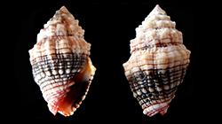 Les Costellariidae - MacDonald, 1860 Costel16