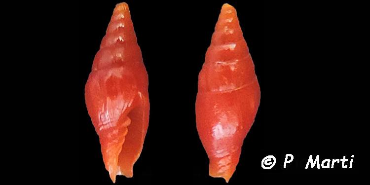 Protoelongata dekkersi - (Herrmann, Stossier & Salisbury, 2014)  Costel17