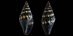 Les Costellariidae - MacDonald, 1860 Costel19