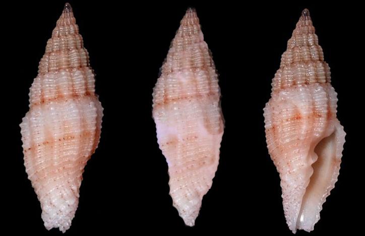 Vexillum lucidum - (Reeve, 1845)  Costel26