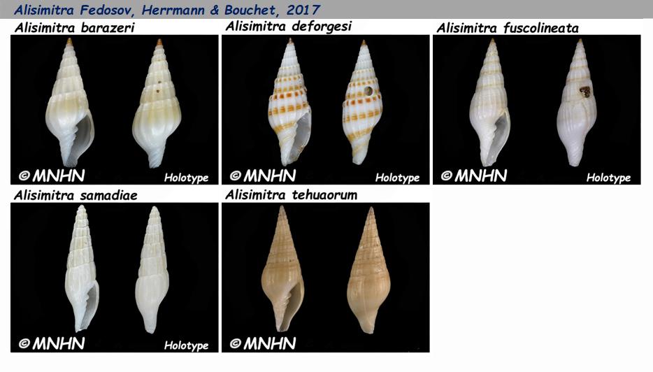 Costellariidae Alisimitra - Le genre, les espèces, la planche Costel27