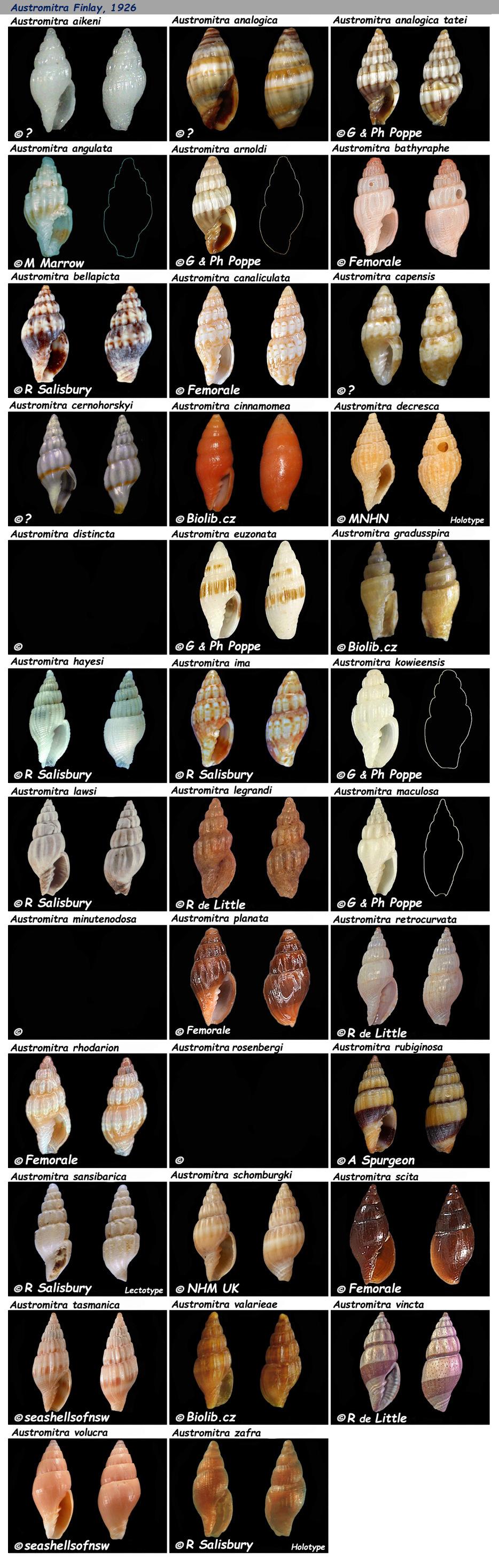 Costellariidae Austromitra - Le genre, les espèces, la planche Costel29