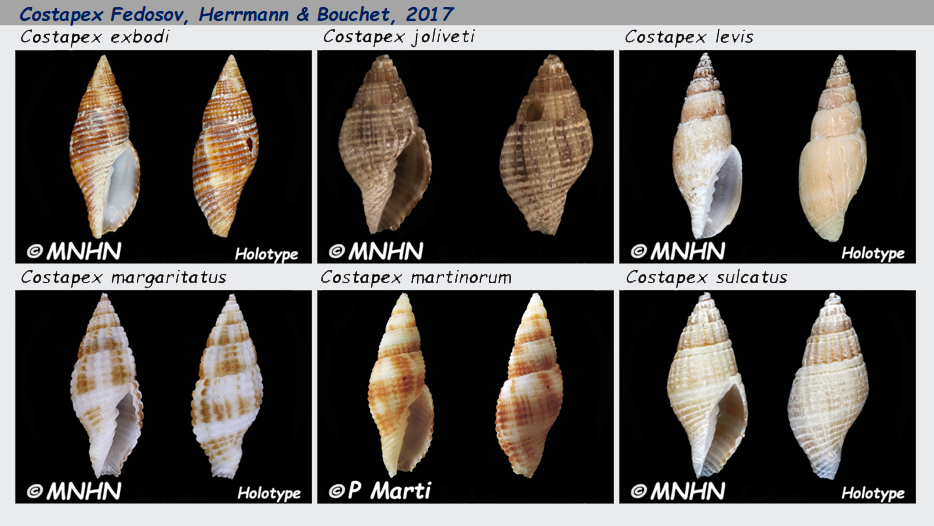 Costellariidae Costapex - Le genre, les espèces, la planche Costel32