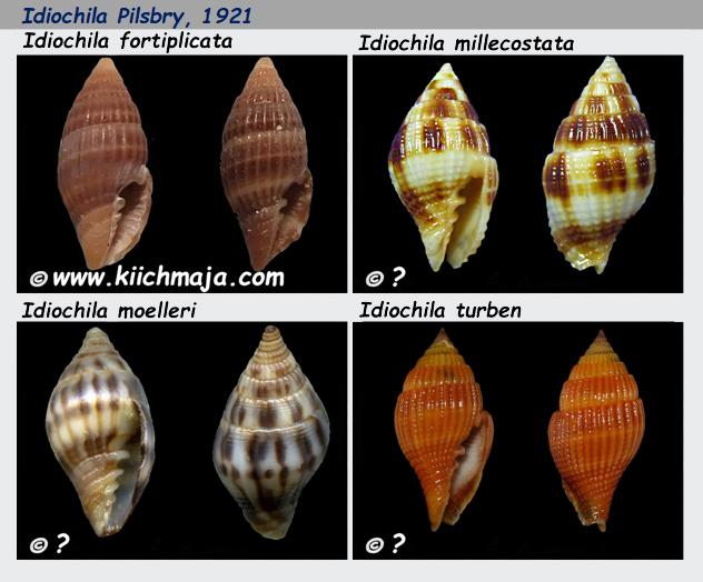 Costellariidae Idiochila - Le genre, les espèces, la planche Costel33