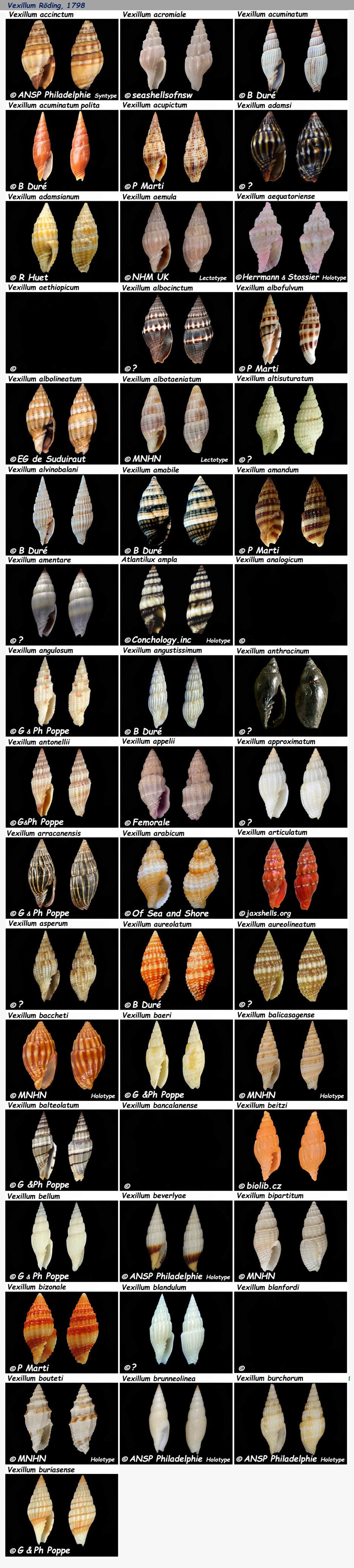 Costellariidae Vexillum A & B - Le genre, les espèces, la planche N°01 une purge Costel37