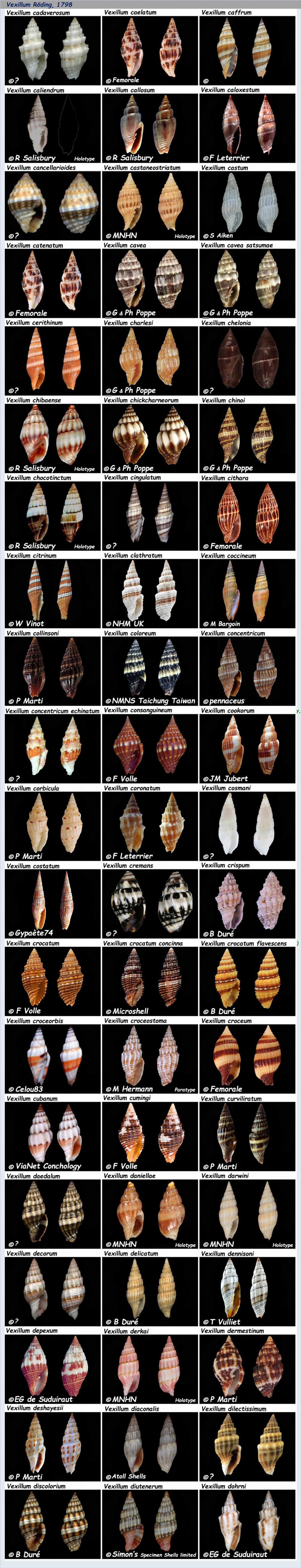 Costellariidae Vexillum C & D - Le genre, les espèces, la planche N° 2 Costel38