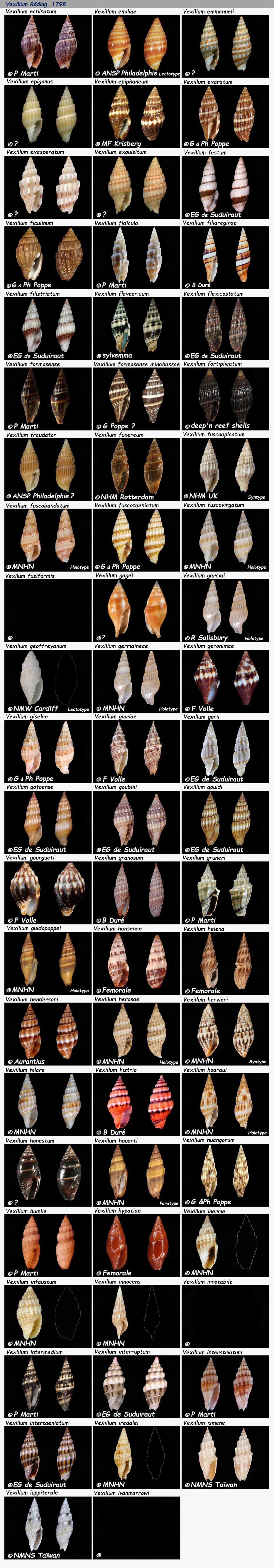 Costellariidae Vexillum E à I - Le genre, les espèces, la planche N°03 Costel39