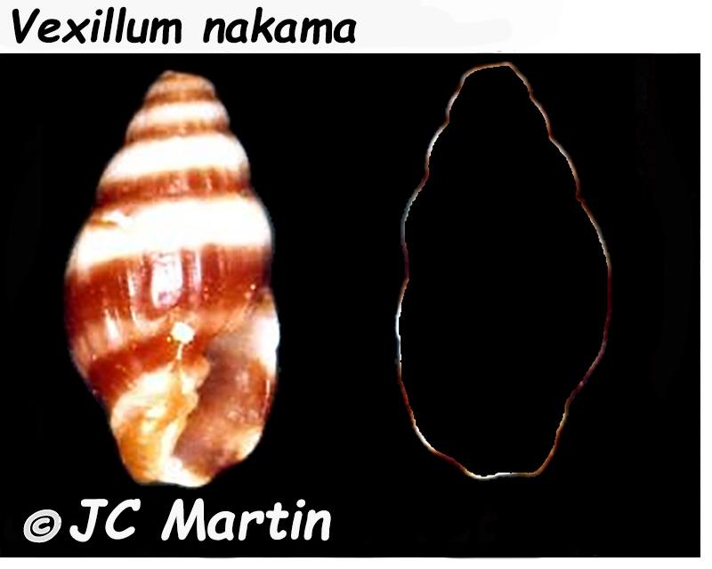Vexillum nakama (Dall, 1926) Costel44