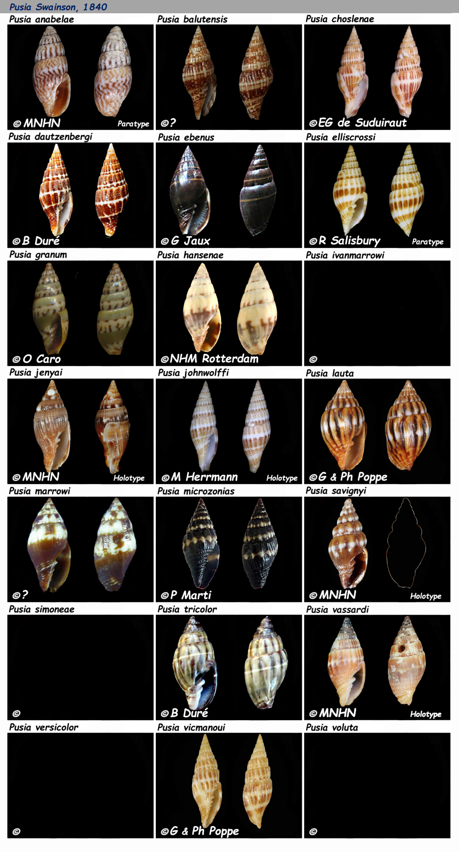Costellariidae Pusia - Le genre, les espèces, la planche Costel47