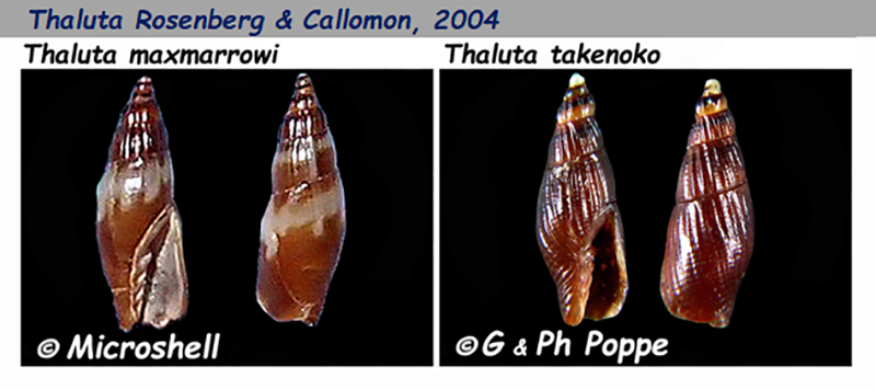 Costellariidae Thaluta - Le genre, les espèces, la planche Costel50