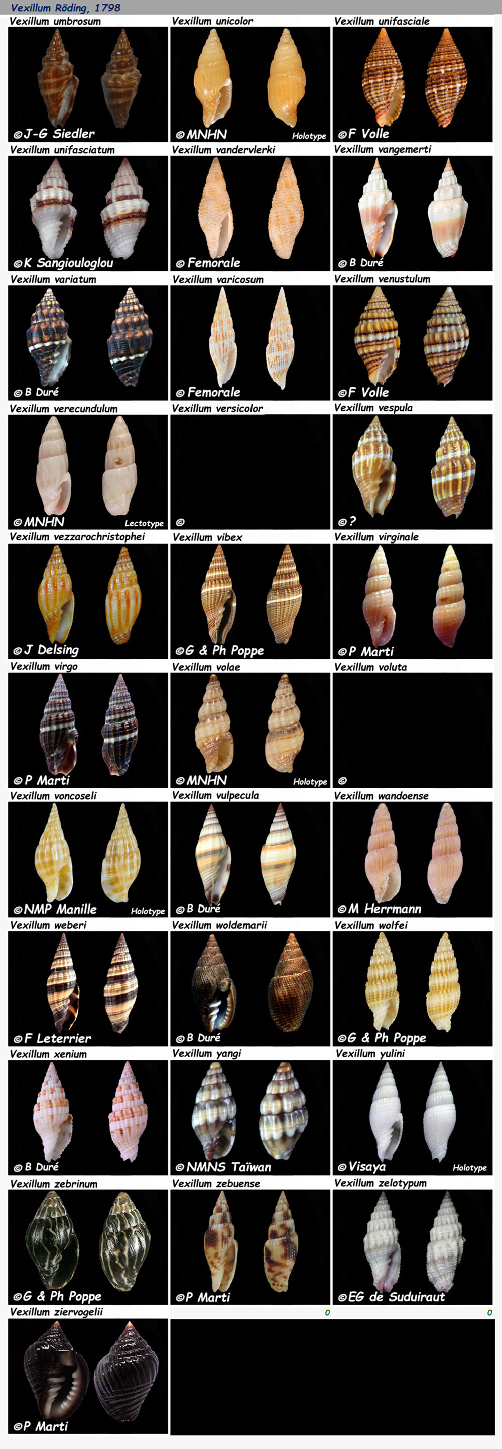 Costellariidae Vexillum U à Z  - Le genre, les espèces, la planche N° 7 Costel51
