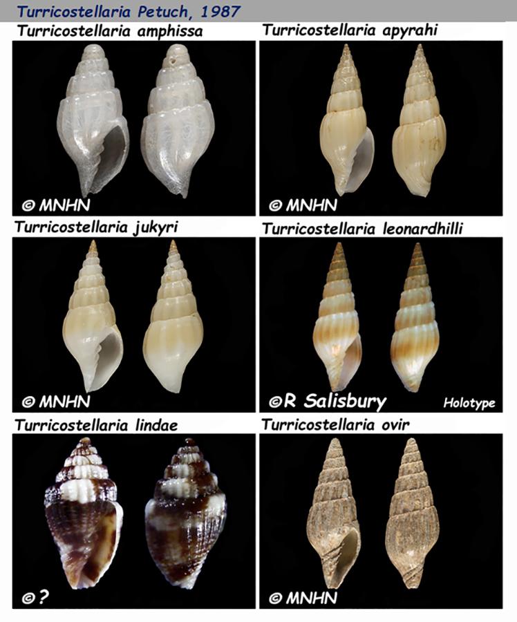 Costellariidae Turricostellaria - Le genre, les espèces, la planche Costel57