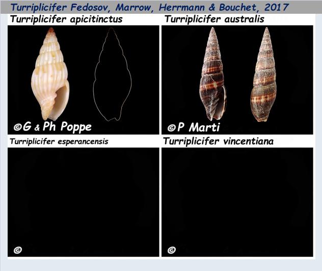 Costellariidae Turriplicifer - Le genre, les espèces, la planche Costel58