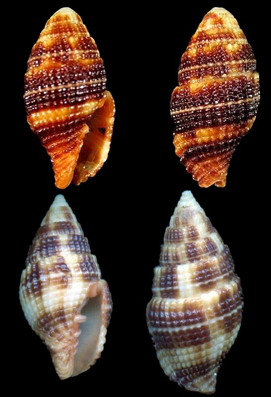 Costellariidae mille quoi ? Costel59