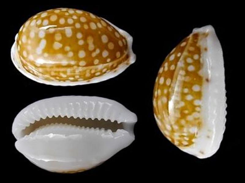 Cribrarula catholicorum - (Schilder & Schilder, 1938) & Cribrarula taitae - (Burgess, 1993) - Vanuatu Cribra10