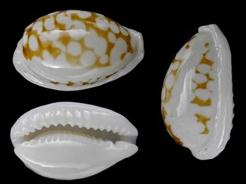Cribrarula melwardi - (Iredale, 1930) Cribra11