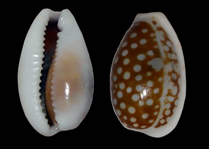 Cribrarula cribraria comma - (Perry, 1811) Cribra12