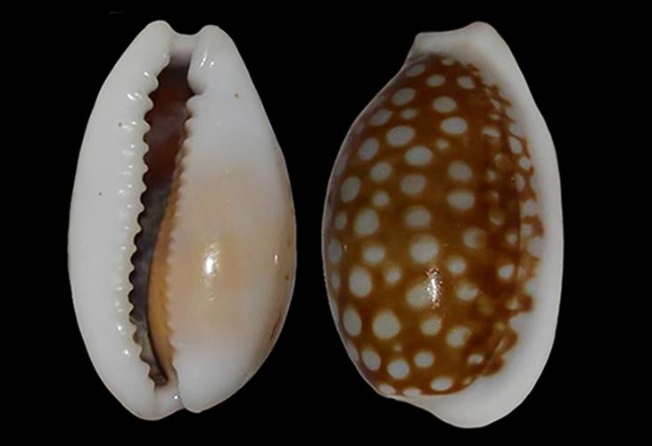 Cribrarula cribraria comma - (Perry, 1811) Cribra13