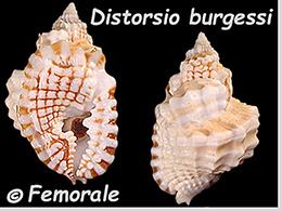 Personidae Distorsio - Le genre, ses espèces, la planche    Distor13