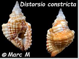 Personidae Distorsio - Le genre, ses espèces, la planche    Distor17