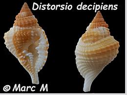 Personidae Distorsio - Le genre, ses espèces, la planche    Distor18