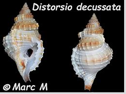 Personidae Distorsio - Le genre, ses espèces, la planche    Distor19