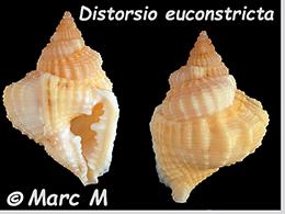 Personidae Distorsio - Le genre, ses espèces, la planche    Distor21