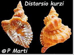 Personidae Distorsio - Le genre, ses espèces, la planche    Distor25