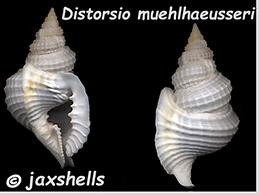 Personidae Distorsio - Le genre, ses espèces, la planche    Distor27