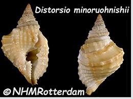 Personidae Distorsio - Le genre, ses espèces, la planche    Distor28