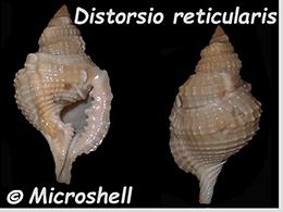 Personidae Distorsio - Le genre, ses espèces, la planche    Distor29