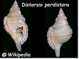 Personidae Distorsio - Le genre, ses espèces, la planche    Distor42