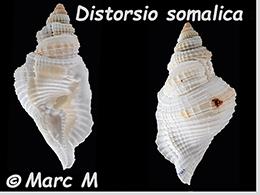 Personidae Distorsio - Le genre, ses espèces, la planche    Distor46