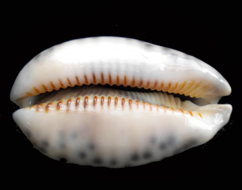Mauritia arabica arabica - (Linnaeus, 1758)  Dscn7412
