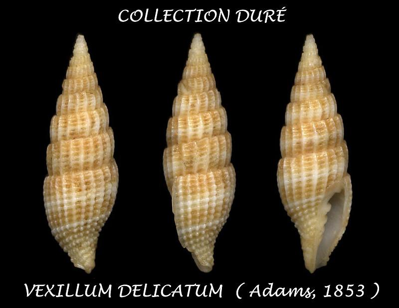 Vexillum delicatum - (A. Adams, 1853)  Durzo10