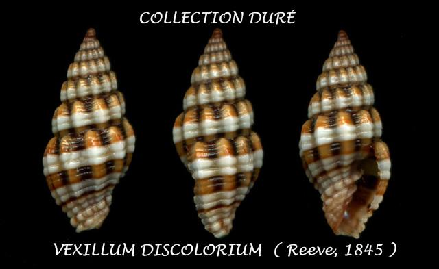Vexillum discolorium - (Reeve, 1845) Durzo11