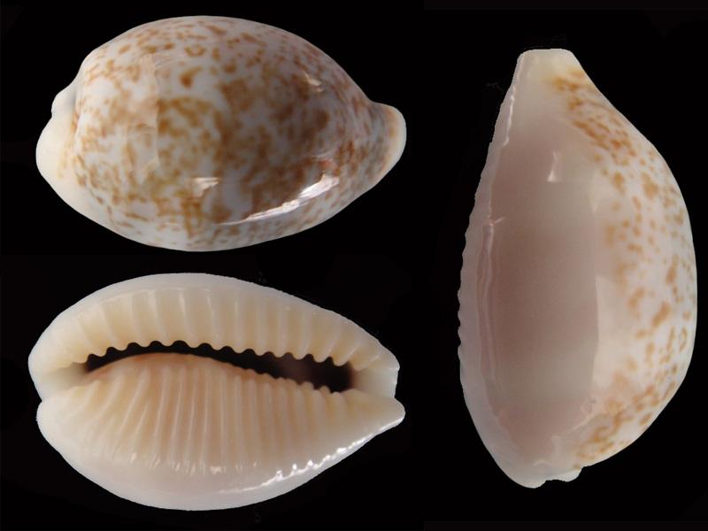 Eclogavena dayritiana - (C. N. Cate, 1963) Ecloga14