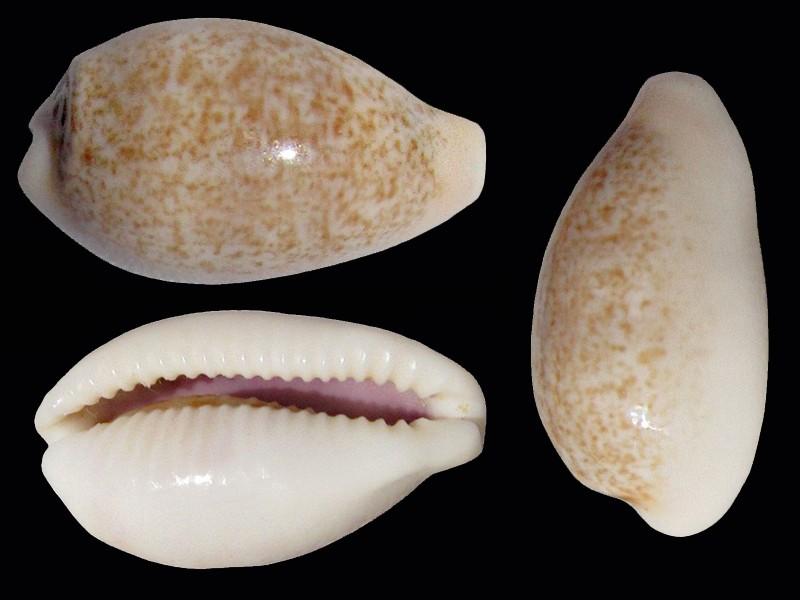 Eclogavena luchuana - (Kuroda, 1960) Ecloga17