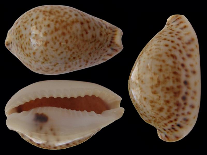 Naria turdus - (Lamarck, 1810) Erosar24