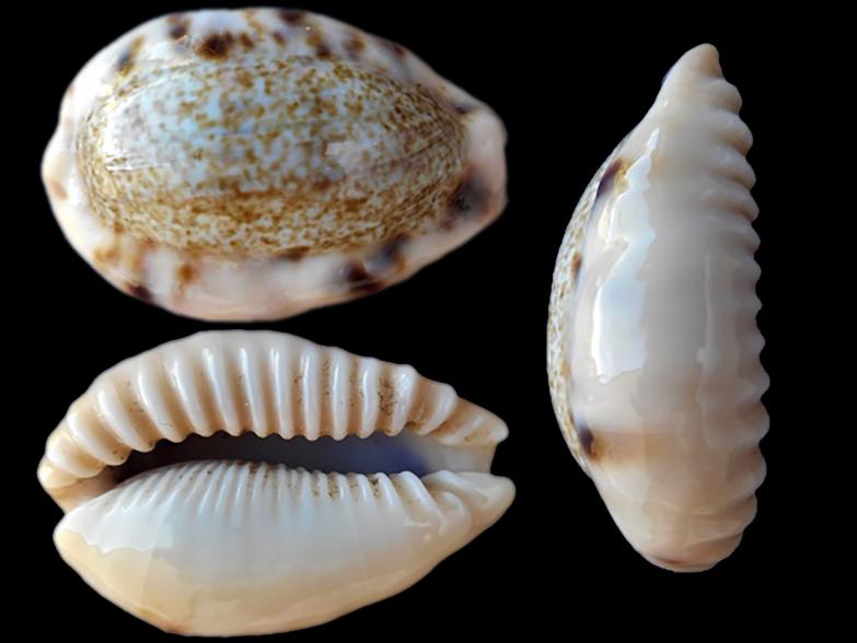 Erronea caurica mayottensis - Vachon & Verneau, 2017 Errone15