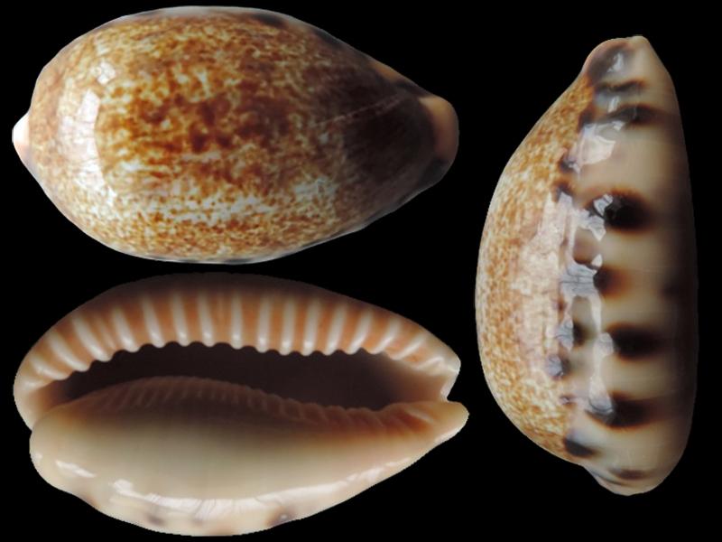Erronea caurica nabeqensis - Heiman & Mienis, 2000 voir Erronea caurica quinquefasciata (Röding, 1798) Errone16