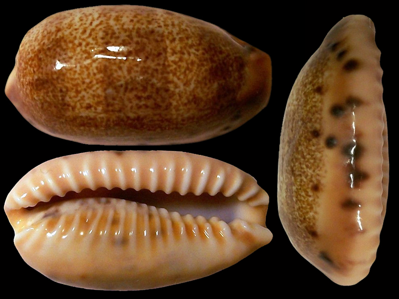 Erronea caurica thema - Iredale, 1939  voir Erronea caurica caurica (Linnaeus, 1758)  Errone22