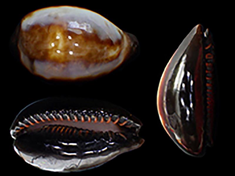 Erronea onyx draco - Bergonzoni, 2013 Errone27