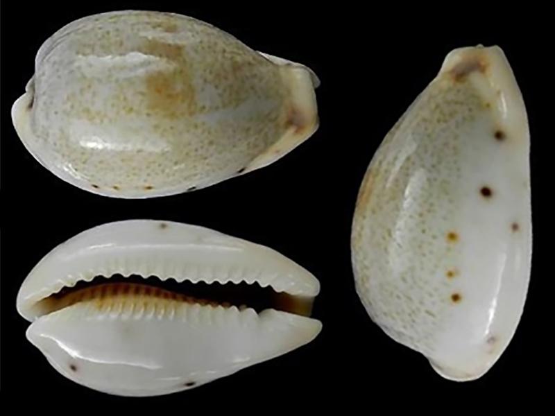 Erronea pyriformis smithi - (Sowerby, 1881) Errone29