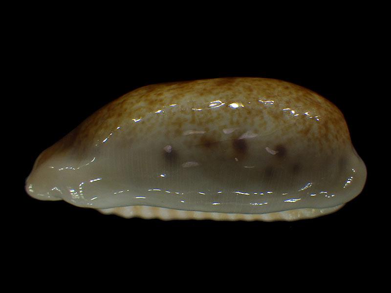 Erronea caurica longior - Iredale, 1935  voir Erronea caurica caurica (Linnaeus, 1758)  Errone40