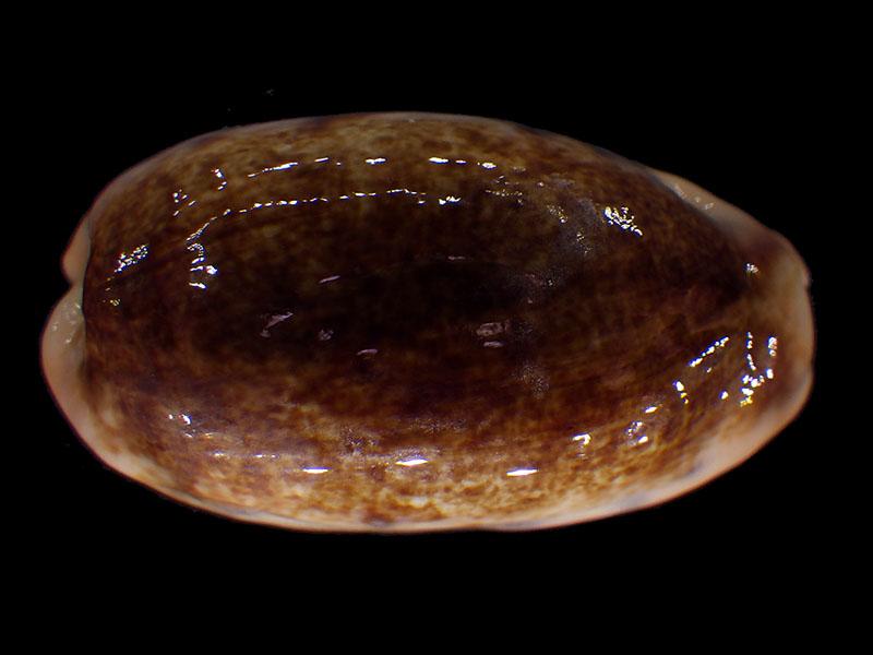 Erronea caurica longior - Iredale, 1935  voir Erronea caurica caurica (Linnaeus, 1758)  Errone46