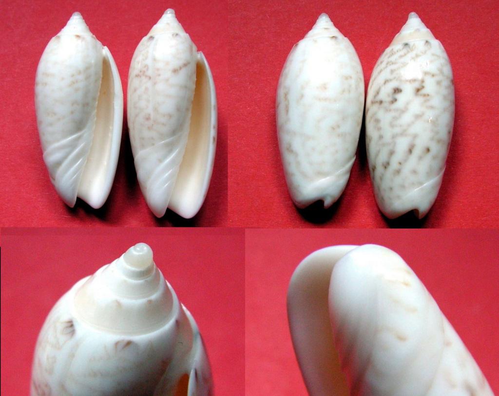 Americoliva fulgurator bullata (Marrat, 1871) - Worms = oliva fulgurator (Röding, 1798)  Gg-112