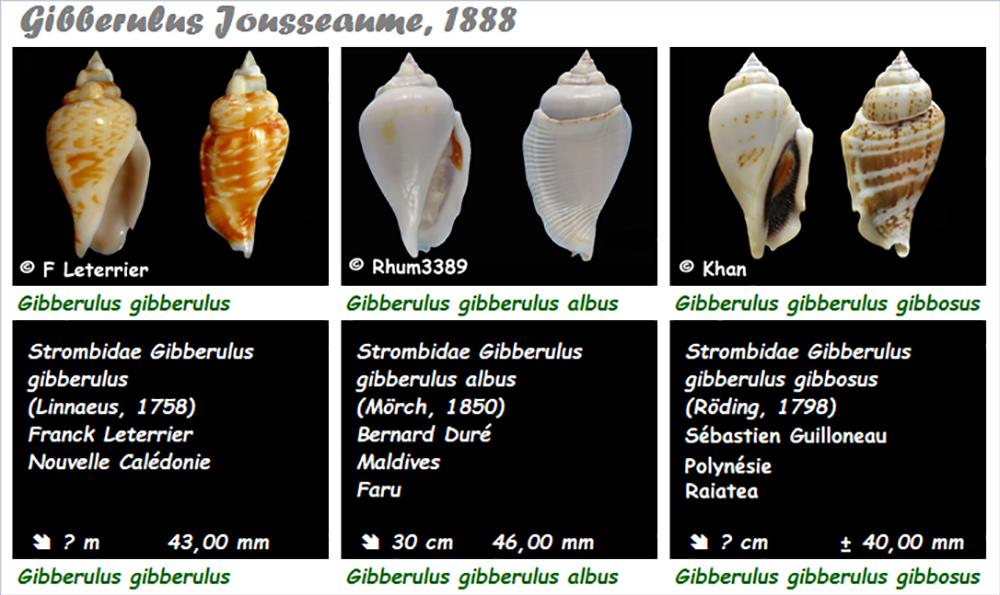 Strombidae Gibberulus - Le genre, ses espèces, la planche Gibber10